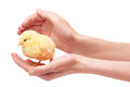 Female hands holding small yellow chicken isolated on white Royalty Free Stock Photo