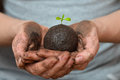Female hands holding soil ball with small green plant. Ecology and environment, earth care concept. Royalty Free Stock Photo