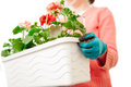 Female hands planting holding a crate full of flowers geranium to be planted Royalty Free Stock Image