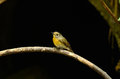 Female hill blue flycatcher Royalty Free Stock Image