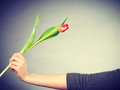 Female holding red flower. Royalty Free Stock Photo