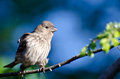 Female House Finch Against a Blue Background Royalty Free Stock Images