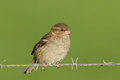 A female House Sparrow Passer domesticus perched on a barbed wire fence. Royalty Free Stock Photo