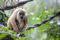 Female Howler Monkey Royalty Free Stock Photos
