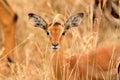 Female impala eating grass nakuru lake kenya Stock Images