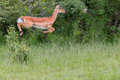 Photo : Female Impala Jumping hand other