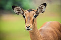 Female impala a portrait of a Royalty Free Stock Photo