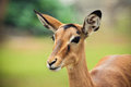 Female impala a profile of a Royalty Free Stock Photos