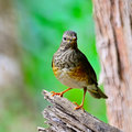 Female japanese thrush beautiful bird turdus cardis standing on the log breast profile taken in thailand Royalty Free Stock Images