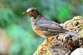 Female japanese thrush beautiful bird turdus cardis standing on the log side and breast profile Stock Images