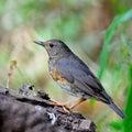 Female japanese thrush beautiful bird turdus cardis standing on the log side profile Stock Photo