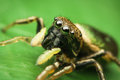 Female jumping spider Royalty Free Stock Photo