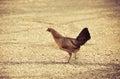 Female jungle fowl walking on ground find food bantam Stock Images