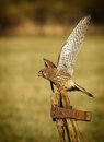 Female kestrel falco tinnunculus on old textured gate post with rusty hinge and soft green background Royalty Free Stock Images