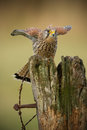 Female kestrel on old rotten gate post Stock Photography