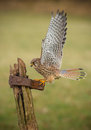 Female kestrel on old textured gate post Royalty Free Stock Image