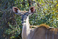 Female Kudu Royalty Free Stock Images