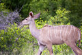 Female kudu Stock Photo