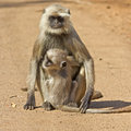 Female langur and cub adult on a dusty roadway Stock Images