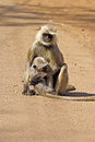 Female langur and cub on a dusty roadway Stock Image