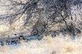 Female leopard taking shade Royalty Free Stock Photo