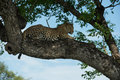 Female leopard in a tree captured greater kruger mala mala Royalty Free Stock Image