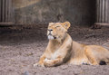 Female lion the belongs to the panthera family and is a big cat living in the wilderness of africa and asia Stock Photography