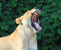 Female lion with a big yawn Royalty Free Stock Images
