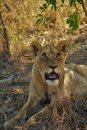 Female lion cub staring up Royalty Free Stock Photo