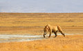 Female Lion Hunting in Grasslands of Ngorongoro Stock Images