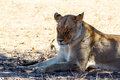 Female lion lying in grass in shade of tree and resting kgalagadi transfrontier park botswana true wildlife Stock Photo
