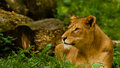 Female lion portrait of in green grass Stock Photos