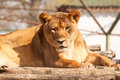 Female lion resting on the sun sunny day Royalty Free Stock Photos