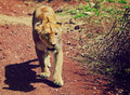 Female lion walking. Ngorongoro, Tanzania Stock Photography