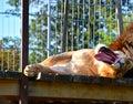 Female Lion yawn Royalty Free Stock Photo