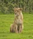 Female lion Royalty Free Stock Photo