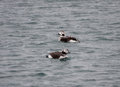 Female long tailed ducks winter plumage clangula hyemalis also known as oldsquaw with snow falling at husavik harbour iceland Royalty Free Stock Photography