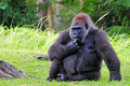 Female lowland gorilla Stock Photo