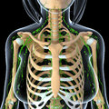Female lymphatic system with skeleton x ray anatomy illustration of the Royalty Free Stock Image