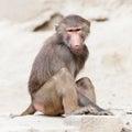 Female macaque monkey