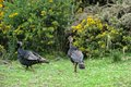 Female and male wild turkeys walking in the open woods in hawaii Stock Photography