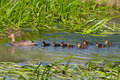 Female mallard anas platyrhynchos with ten ducklings swimming in a stream Stock Photo