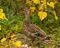 Female mallard duck, anas platyrhynchos Stock Images