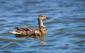 Female mallard duck anas platyrhynchos and ducklings two swimming in lake Stock Images