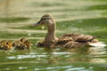 Female mallard duck with ducklings on lake Royalty Free Stock Photo
