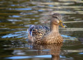 Female mallard duck ducks swimming in water Royalty Free Stock Image