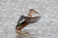 Female mallard duck flapping wings wild anas platyrhynchos Royalty Free Stock Images