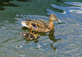 Female mallard duck with fledgling anas platyrhynchos swimming in a pond Royalty Free Stock Image