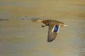 Female mallard duck in flight Royalty Free Stock Photo