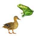 Female Mallard Duck, Green Fro...